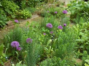 Allium et linaria purpurea dans le jardin de Marie-France Banvard