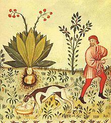 Mandragore dans le Tacuinum Sanitatis, un manuel médiéval sur la santé basé sur un traité médical arabe.