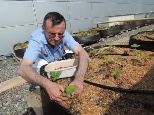 Récolte de fraises. Cette année, le potager a produit 150 kilos de tomates et une soixantaine de kilos de haricots verts...