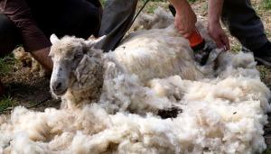 Le jour de notre visite était aussi le jour de la tonte des moutons.