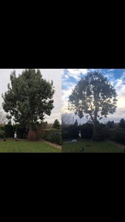 """Ce que Ben appelle une """"sympathetic reduction"""" : elle peut aider un arbre à rester en bonne santé et à garder une forme harmonieuse."""